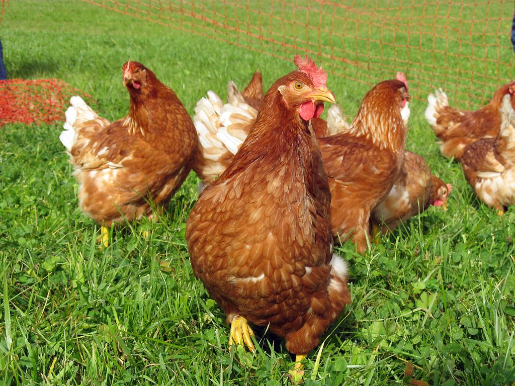 Pollo sólo para Huesca y Provincia