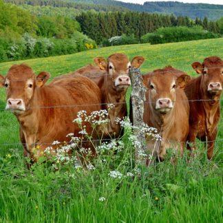 Carne de Ternera sólo para Huesca y Provincia